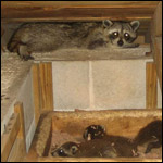 Nuisance raccoon in attic, breeding, and creating more nuisance raccoons.
